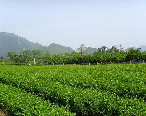 Guilin Tea Science and Research Institute