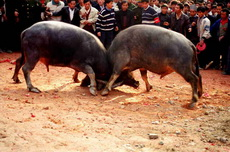 Bull Fight in Guizhou