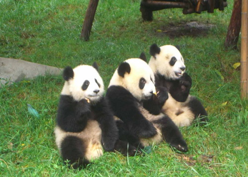 the Chengdu Panda Breeding Research Center