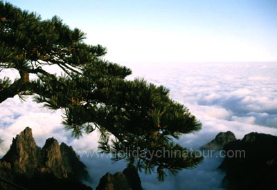 Pine Trees on Mt Huangshan